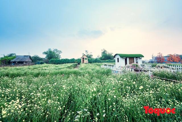 Giới trẻ mê mẩn 'check-in' bên vườn cúc họa mi lớn nhất Hà Nội - Ảnh 1.