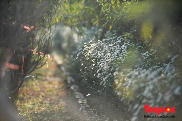 Giới trẻ mê mẩn 'check-in' bên vườn cúc họa mi lớn nhất Hà Nội - Ảnh 4.