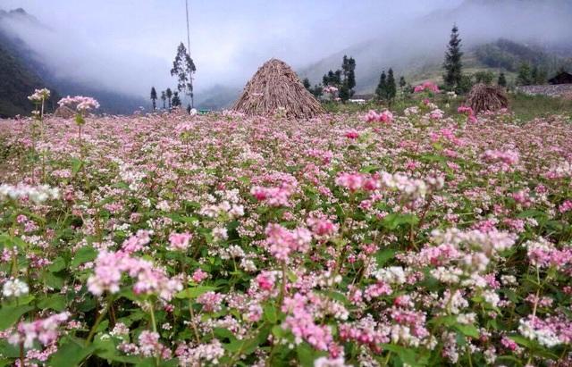 Lại một mùa hoa Tam giác mạch bung nở trên cao nguyên đá vẫy gọi du khách - Ảnh 3.