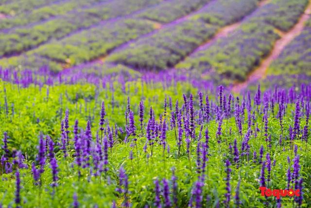 Vẻ đẹp ngỡ ngàng của cánh đồng hoa Nữ hoàng xanh như trời Âu giữa Hà Nội - Ảnh 17.