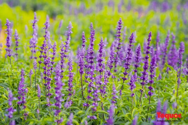 Vẻ đẹp ngỡ ngàng của cánh đồng hoa Nữ hoàng xanh như trời Âu giữa Hà Nội - Ảnh 15.