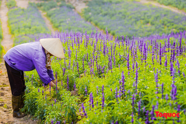 Vẻ đẹp ngỡ ngàng của cánh đồng hoa Nữ hoàng xanh như trời Âu giữa Hà Nội - Ảnh 14.