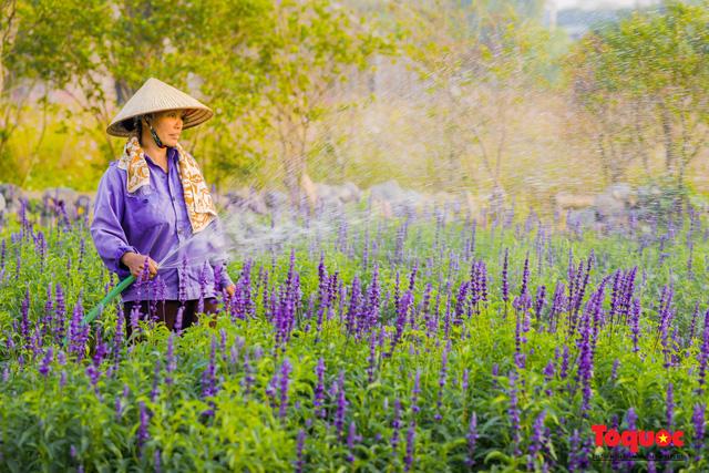 Vẻ đẹp ngỡ ngàng của cánh đồng hoa Nữ hoàng xanh như trời Âu giữa Hà Nội - Ảnh 4.