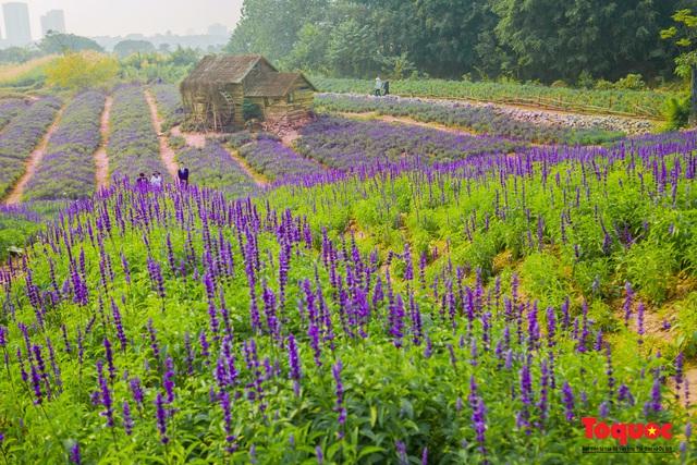 Vẻ đẹp ngỡ ngàng của cánh đồng hoa Nữ hoàng xanh như trời Âu giữa Hà Nội - Ảnh 12.