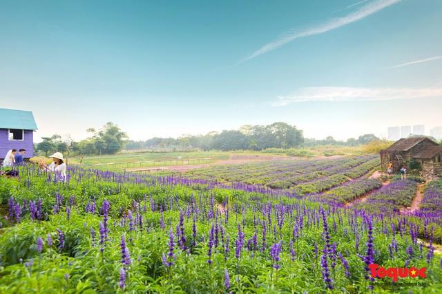 Vẻ đẹp ngỡ ngàng của cánh đồng hoa Nữ hoàng xanh như trời Âu giữa Hà Nội - Ảnh 11.