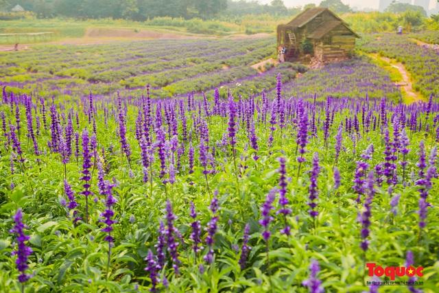 Vẻ đẹp ngỡ ngàng của cánh đồng hoa Nữ hoàng xanh như trời Âu giữa Hà Nội - Ảnh 5.