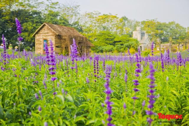 Vẻ đẹp ngỡ ngàng của cánh đồng hoa Nữ hoàng xanh như trời Âu giữa Hà Nội - Ảnh 2.