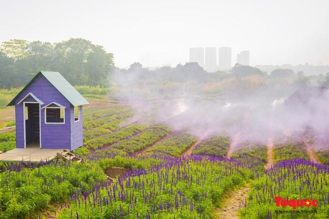 Vẻ đẹp ngỡ ngàng của cánh đồng hoa Nữ hoàng xanh như trời Âu giữa Hà Nội - Ảnh 1.