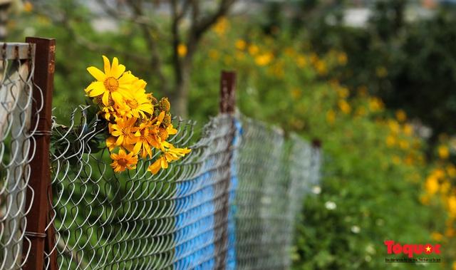 Ngập tràn sắc hoa Dã Quỳ trên cao nguyên mộng mơ - Ảnh 21.