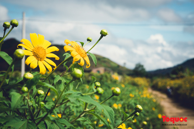 Ngập tràn sắc hoa Dã Quỳ trên cao nguyên mộng mơ - Ảnh 18.
