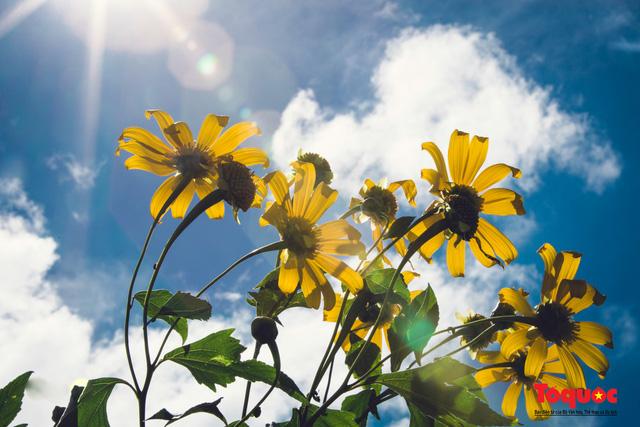 Ngập tràn sắc hoa Dã Quỳ trên cao nguyên mộng mơ - Ảnh 17.