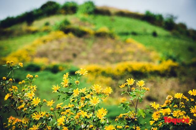 Ngập tràn sắc hoa Dã Quỳ trên cao nguyên mộng mơ - Ảnh 11.