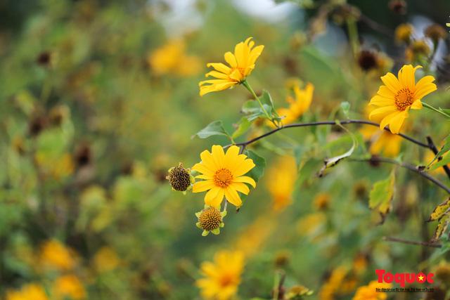 Ngập tràn sắc hoa Dã Quỳ trên cao nguyên mộng mơ - Ảnh 7.