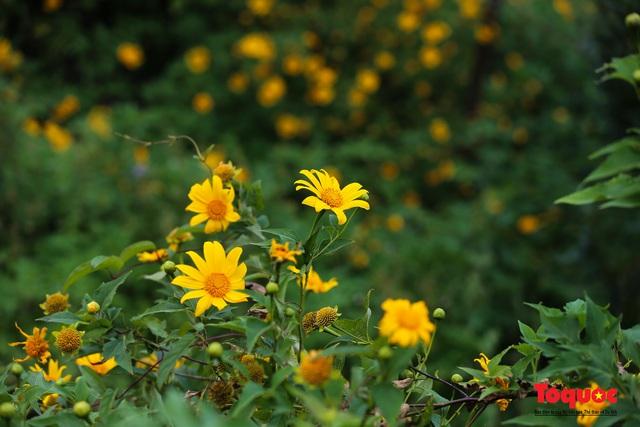 Ngập tràn sắc hoa Dã Quỳ trên cao nguyên mộng mơ - Ảnh 5.