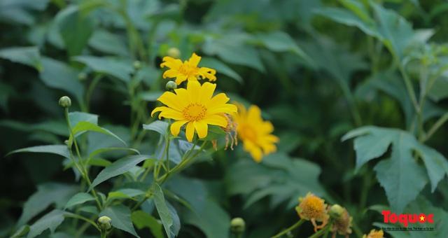 Ngập tràn sắc hoa Dã Quỳ trên cao nguyên mộng mơ - Ảnh 4.
