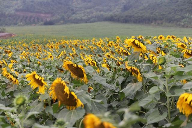 """Mãn nhãn với vẻ đẹp """"đượm vàng"""" của cánh đồng hoa hướng dương lớn nhất Việt Nam tại Nghệ An - Ảnh 8."""