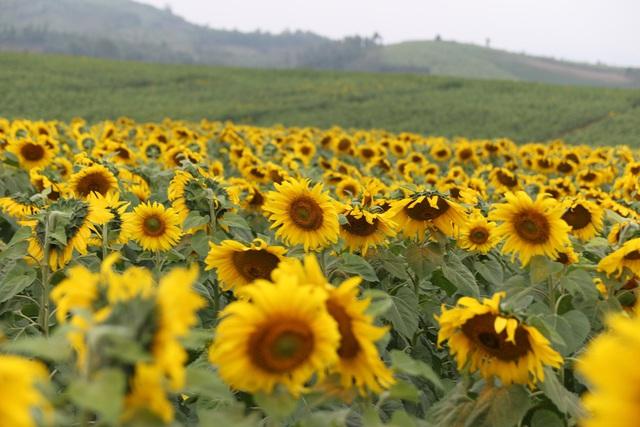 """Mãn nhãn với vẻ đẹp """"đượm vàng"""" của cánh đồng hoa hướng dương lớn nhất Việt Nam tại Nghệ An - Ảnh 7."""