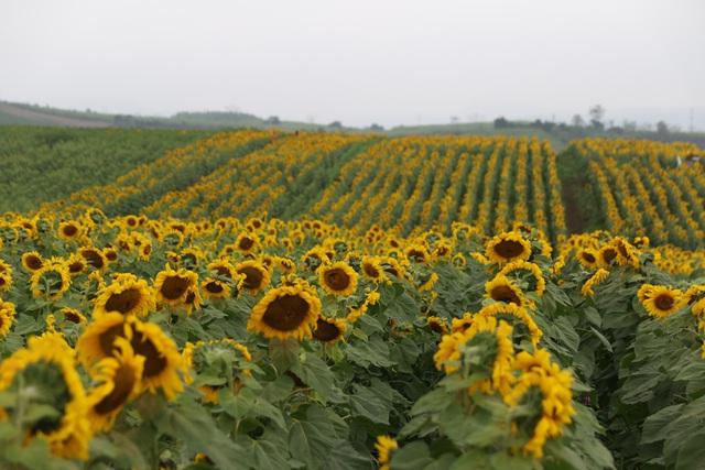 """Mãn nhãn với vẻ đẹp """"đượm vàng"""" của cánh đồng hoa hướng dương lớn nhất Việt Nam tại Nghệ An - Ảnh 1."""