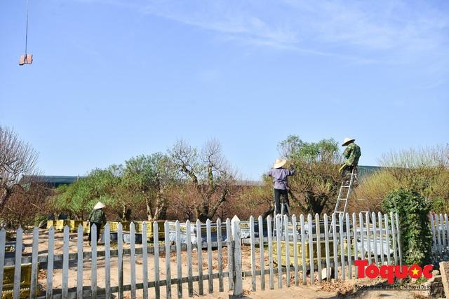 Người dân làng đào Nhật Tân tất bật tuốt lá, chuẩn bị cho Tết Nguyên đán - Ảnh 1.