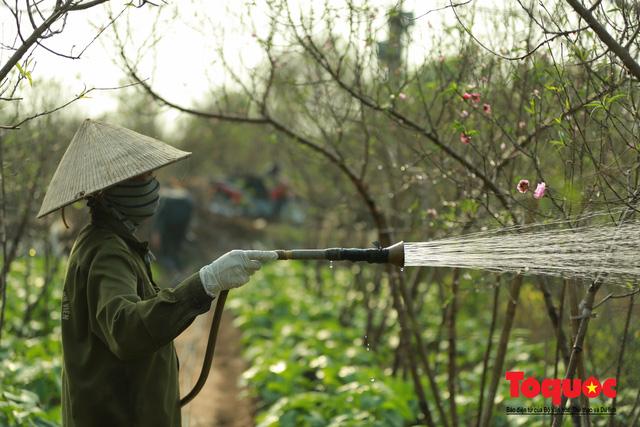 Người dân làng đào Nhật Tân tất bật tuốt lá, chuẩn bị cho Tết Nguyên đán - Ảnh 6.