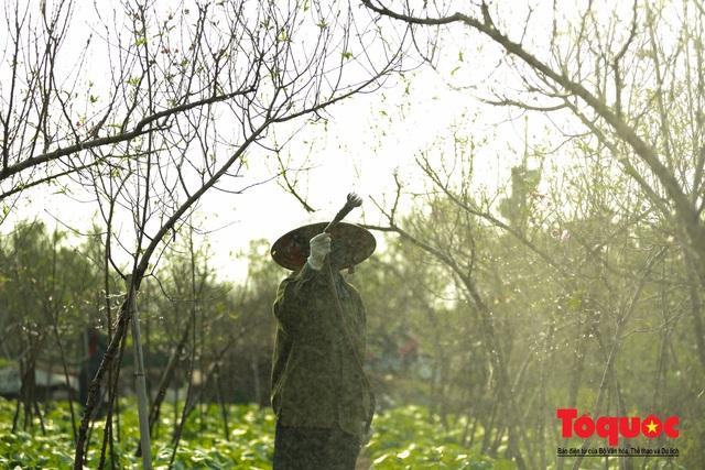 Người dân làng đào Nhật Tân tất bật tuốt lá, chuẩn bị cho Tết Nguyên đán - Ảnh 7.