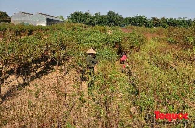 Người dân làng đào Nhật Tân tất bật tuốt lá, chuẩn bị cho Tết Nguyên đán - Ảnh 10.