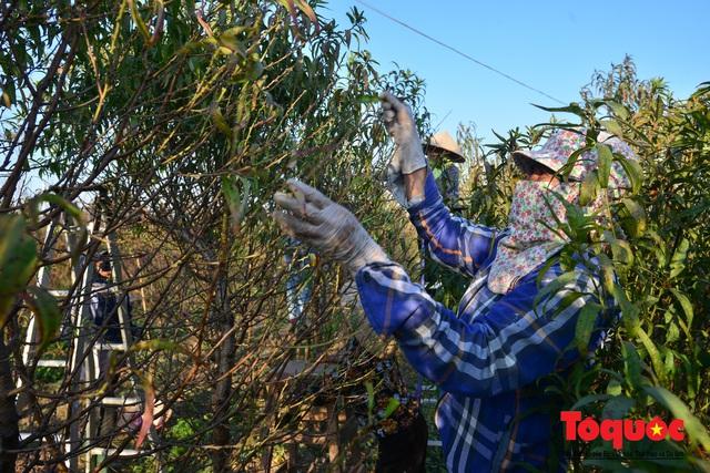 Người dân làng đào Nhật Tân tất bật tuốt lá, chuẩn bị cho Tết Nguyên đán - Ảnh 5.