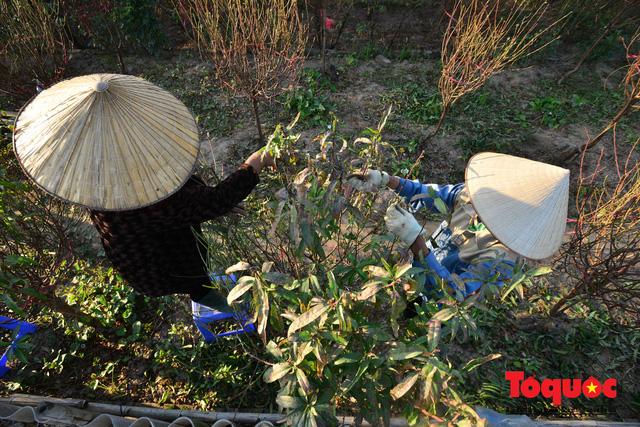 Người dân làng đào Nhật Tân tất bật tuốt lá, chuẩn bị cho Tết Nguyên đán - Ảnh 4.