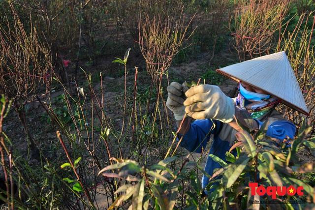Người dân làng đào Nhật Tân tất bật tuốt lá, chuẩn bị cho Tết Nguyên đán - Ảnh 3.