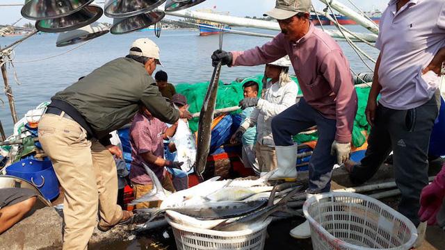 Quảng Trị: Ngư dân trúng đậm mẻ cá hơn 7 tỷ đồng ngày đầu năm - Ảnh 1.
