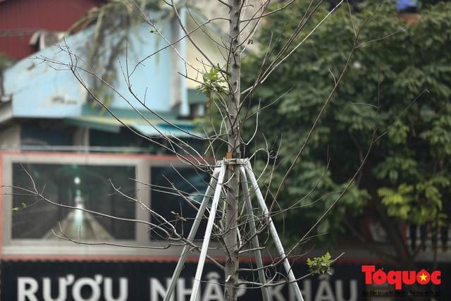 Chủ tịch TP Hà Nội lên tiếng về hàng cây phong trên phố Trần Duy Hưng trơ cành, héo úa - Ảnh 8.