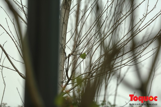 Chủ tịch TP Hà Nội lên tiếng về hàng cây phong trên phố Trần Duy Hưng trơ cành, héo úa - Ảnh 6.