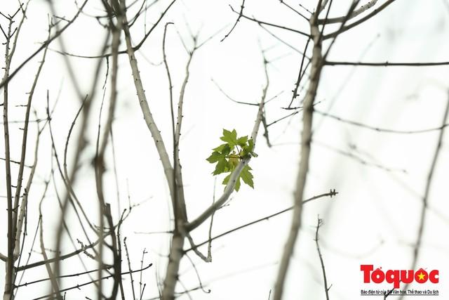 Chủ tịch TP Hà Nội lên tiếng về hàng cây phong trên phố Trần Duy Hưng trơ cành, héo úa - Ảnh 5.