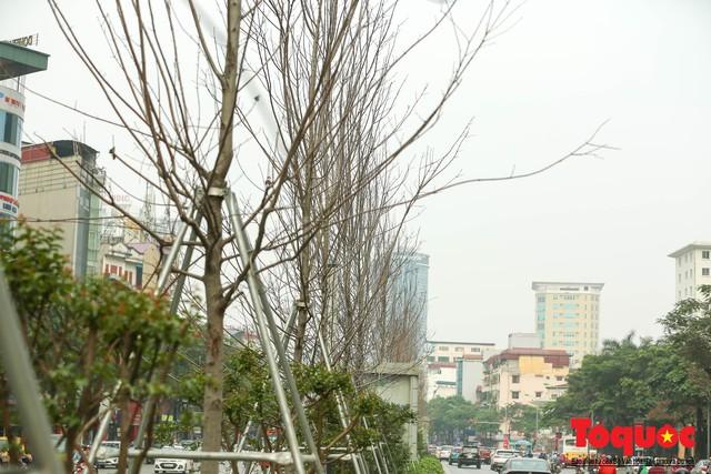 Chủ tịch TP Hà Nội lên tiếng về hàng cây phong trên phố Trần Duy Hưng trơ cành, héo úa - Ảnh 3.