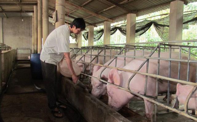 Không được cho lợn ăn rau muống, rau lang, su hào... - Ảnh 1.