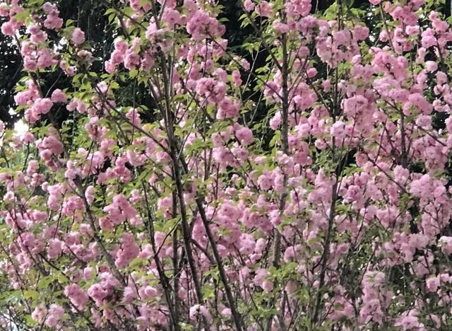Khách thích thú với trải nghiệm tại lễ hội hoa anh đào ở Hà Nội - Ảnh 4.