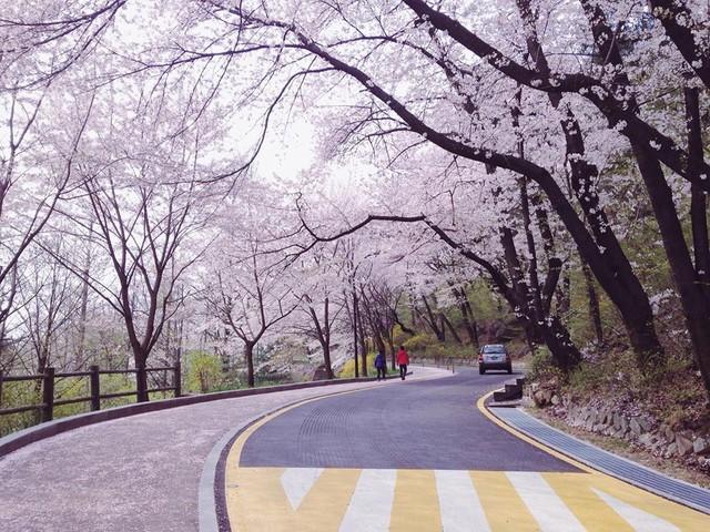 Tháng ba đến Hàn Quốc ngắm hoa anh đào - Ảnh 1.
