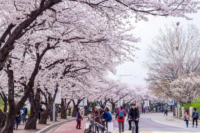 Tháng ba đến Hàn Quốc ngắm hoa anh đào - Ảnh 3.
