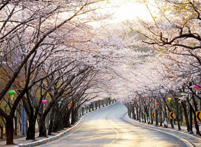 Tháng ba đến Hàn Quốc ngắm hoa anh đào - Ảnh 5.