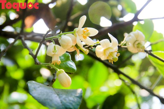 Du khách thích thú trải nghiệm thủ phủ thanh trà xứ Huế mùa trổ hoa - Ảnh 2.
