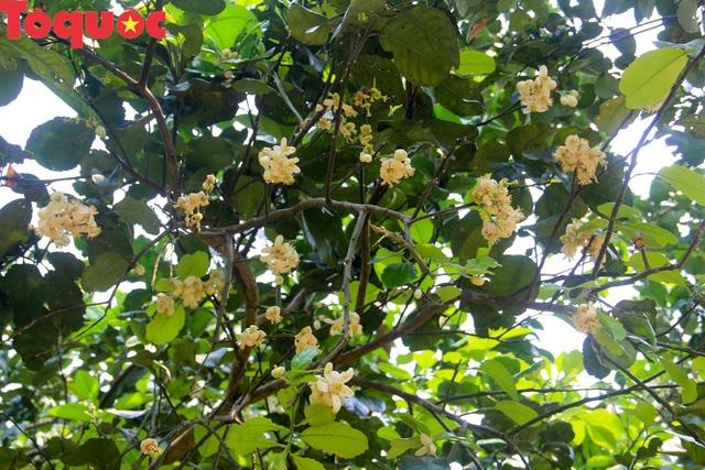 Du khách thích thú trải nghiệm thủ phủ thanh trà xứ Huế mùa trổ hoa - Ảnh 3.