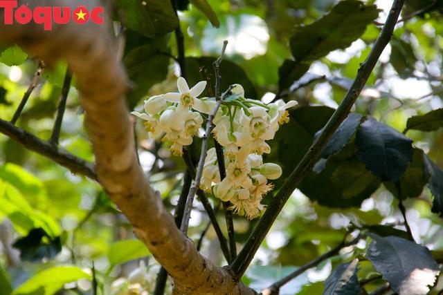 Du khách thích thú trải nghiệm thủ phủ thanh trà xứ Huế mùa trổ hoa - Ảnh 10.