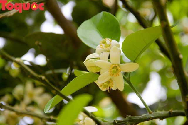 Du khách thích thú trải nghiệm thủ phủ thanh trà xứ Huế mùa trổ hoa - Ảnh 4.