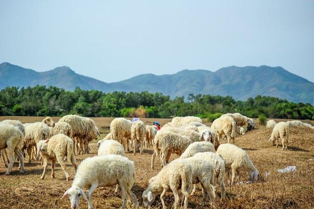 Check-in đồng cừu, điểm du lịch hot của các bạn trẻ hiện nay - Ảnh 2.