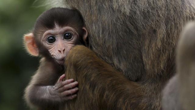 Cấy gene người vào não khỉ: mục tiêu thực sự của giới khoa học Trung Quốc là gì? - Ảnh 1.