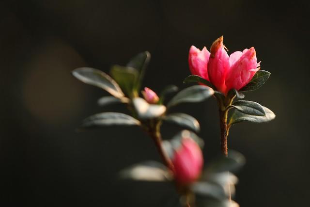 Cận cảnh hoa đỗ quyên ngợp trời Fansipan - Ảnh 2.