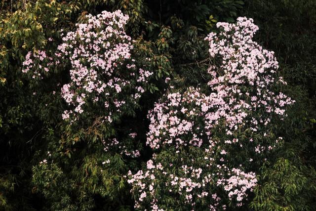 Cận cảnh hoa đỗ quyên ngợp trời Fansipan - Ảnh 1.