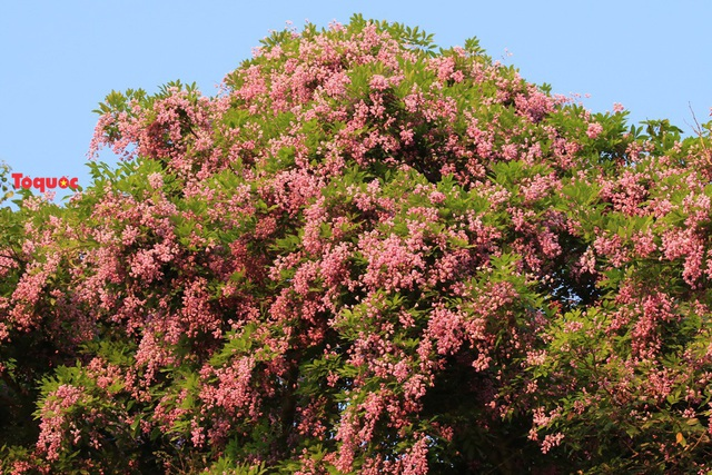 Mê mẩn mùa hoa tím trên bán đảo Sơn Trà - Ảnh 1.