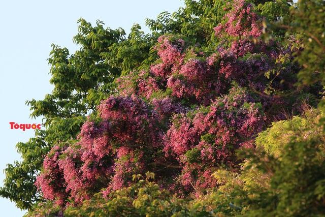 Mê mẩn mùa hoa tím trên bán đảo Sơn Trà - Ảnh 2.