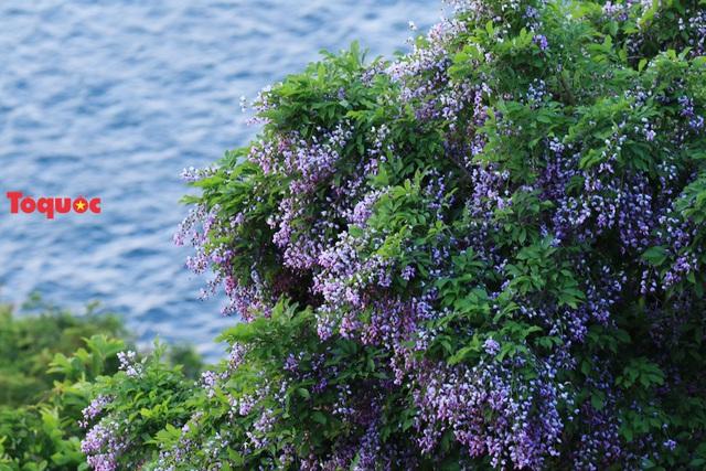 Mê mẩn mùa hoa tím trên bán đảo Sơn Trà - Ảnh 21.